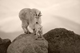 mountain goat, mountain goats, goats, goat, Mt. Evans, mount evans, evans, mount, baby, kid, nanny, colorado