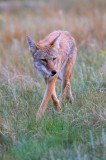 0033, bad intentions, bad, intentions, coyote, coyotes, canis latrans, canis, latrans, rocky mountain national park, roc