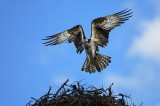 osprey, pandion haliaetus, colorado, nest, wings, fly, arched,