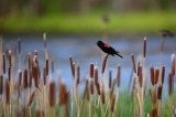 red winged blackbird, red, winged, black bird, blackbird, red winged black bird, colorado,