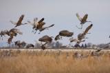 sandhill cranes, sandhill, cranes, sand hill, san luis valley, colorado, birds