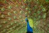 peacock, peafowl, male, courtsthip, display, dominican republic, dominican, republic, feathers, bird,