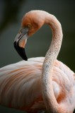 flamingo, dominican republic, dominican, bird, pink,