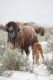 american bison, bison, bufallo, baby, babies, grand teton national park, grand tetons, grand teton, teton, tetons