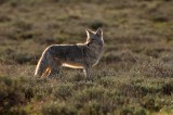 0128, sagebrush coyote, sagebrush, coyote, coyotes, canis latrans, canis, latrans, grand teton national park, grand, tet