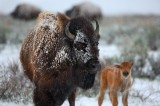 american bison, bison, grand teton national park, wyoming, grand teton, tetons, baby, mother, mom,