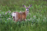 mule deer, deer, san luis valley, colorado, grass, green, monte vista,