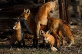 Mother's day, mothers day, red, fox, foxes, vulpes vulpes, Breckenridge, Colorado, 0311, vixen, kits, hungry, pups, mom