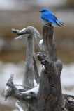 mountain bluebird, mountain, blue bird, bluebird, blue, bird, yellowstone national park, wyoming, yellowstone