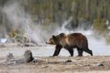 grizzly bear, grizzly, bear, bears, grizzlies, ursus arctos, yellowstone national park, wyoming, yellowstone, geyser,
