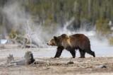 Geyser Grizzly
