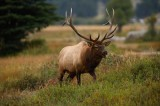Bull Elk, cervus canadensis, rocky mountain national park, rocky mountain, elk, bull, rut, antlers, colorado