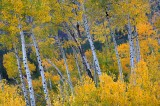 aspen, aspens, tree, trees, rocky mountain national park, colorado, leaves, autumn, fall,
