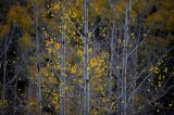 san juan mountains, colorado, tree, trees, aspen, aspens, fall, autumn,