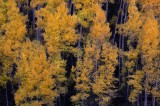 san juan mountains, colorado, aspen, aspens, tree, trees, gold, autumn, fall, leaves, shadows,