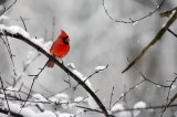 northern cardinal, cardinal, red, cardinalis cardinalis, snow, winter, bird, male,