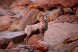 bighorn sheep, bighorn, sheep, desert bighorn sheep, red, canyonlands national park, utah, canyonlands