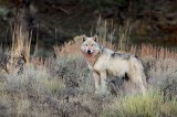 0399, noble, one, grey, wolf, grey wolf, canis, lupus, canis lupus, yellowstone national park, yellowstone, national, pa