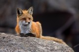 fox, rock, female, family, male, red, boulder, kits, pups, vulpes vulpes, breckenridge, colorado, 0403