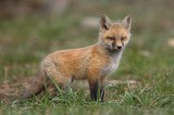 breckenridge, 0405, new world, new, world, red fox, red, fox, red foxes, foxes, vulpes vulpes, breckenridge colorado, vu