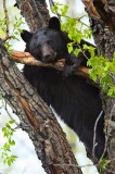 american black bear, black bear, bear, bears, ursus americanus, breckenridge, colorado, tree