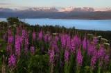 Fireweed, glaciers, kenai peninsula, homer, alaska, kachemak bay, kenai, kenai mountains, flowers,