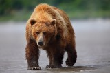 alaskan brown bear, katmai national park, alaska, katmai, national park, ursus arctos, clams, bears, brown, clam,