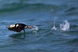 horned puffin, puffin, horned, kachemak bay, alaska, homer, ocean, water,