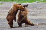 alaskan brown bears, brown bears, bears, bear, ursus arctos, katmai national park, alaska, katmai, fight,