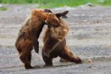 alaskan brown bears, brown bears, bears, bear, ursus arctos, katmai national park, alaska, katmai, fight,