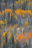 seasons, changing, 0440, pike national forest, colorado, snowflakes, snow, peak, autmn, color, yellow, aspen, leaves, sn