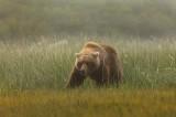alaskan brown bear, brown bears, brown bear, bears, katmai national park, alaska, katmai, grass, meadow