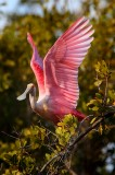 roseate spoonbill, spoonbill, ding darling national wildlife refuge, ding darling, sanibel island, sanibel, florida, pin