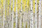 Kebler, pass, aspens, colorado