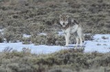 grey wolf, gray wolf, wolf, grey, gray, yellowstone national park, wyoming, yellowstone, canis lupus,