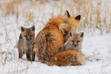 red fox, red foxes, fox, foxes, snow, breckenridge, colorado, baby, kit, kits, babies,