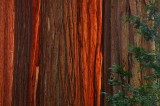 forest, titans, giant sequoia, sequoia, giant, sunset, red, bark, largest, tree, size, fires, die, old age, roots, gener