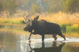 bull, moose, alces, alces, grand, teton, national, park, wyoming, wy, large, pond, water, autumn, cow, calf, rut,