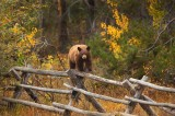 black, bear, cinnamon, grand, teton, national, park, wy, wyoming, fence, autumn, cute, small, little, young