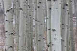 eyes, aspen, trees, eyes, trunks, quaking, leaves, white,