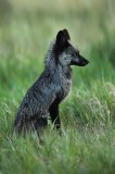 red, fox, silver, fox, vulpes, vulpes, silverthorne, colorado, co, black, rare, kits, newborn, den,