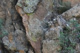 great horned owl, owl, owls, owlets, owlet, family, cliff, estes park, colorado, co,