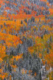 aspen, trees, autumn, fall, colorado, snow, golden, orange, red,