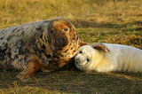 grey seal, gray seal, donna nook, england, lincolnshire, pup, birth