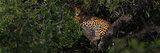 kotiya, sri lankan leopard, yala, yala national park, leopard,