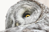 great grey owl, great gray owl, strix nebulosa, grand teton national park, silent, stealth,