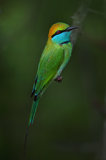 green bee eater, sri lanka, yala national park,