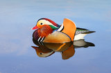 mandarin duck, mandarin, hyde park, london, england, great britain, spring