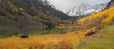 maroon bells, moose, aspen, colorado, maroon lake, aspens, fall, autumn, bull,