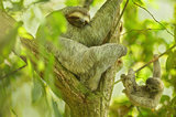 sloth, costa rica, baby, baby sloth, three toed sloth, wild,